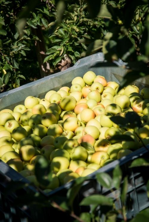 Coronavirus, a rischio 400 container di mele italiane in viaggio verso l'India
