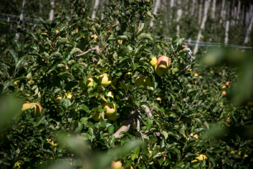 Aggiornamento sul mercato mondiale delle mele